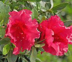 Rhododendron  'Nuccio's Carnival'