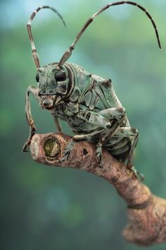 """photographed by Andre de Kessel - """"Cerambycid beetle (ca 25mm long, Coleoptera, Lamiinae, Cerambycidae; ID: …) from the dense rain forest of Yangambi (DR Congo, November 2013, ethanol preserved)."""""""