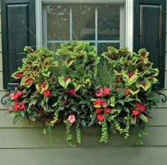 .Coleus, Impatiens, Creeping Jenny!
