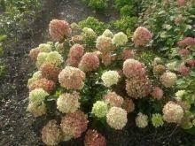 HYDRANGEA paniculata  LITTLE LIME® 'Jane' (BP8/BG9) ↕ 1.20m ↔ 1.20m. Compact. Inflor. h 20cm vert pâle puis blanches puis rose pâle, d'août à oct. Zone USDA 4a(-34°C)