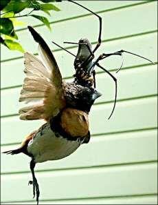 Australia's Giant Golden Orb Weaver #pets trendhunter.com