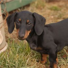 Dachshund Photo Gallery | Dachshund, Dachshunds, Breed