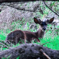 """#California Carmel #BigSur Gorgeous mountain evening as the fog is rolling I see a young """"Buck"""" nestled under a tree near my house.#livingbythesea #livingthedream #lifeissweet#producer #director#film#art#photography #photo#songwriter #guitar #lifestyle #ranch#horses#cattle#look#lifeisgood #happy#joy#love#thankful#gratitude #springtime #montereylocals - posted by Patti's Studio https://www.instagram.com/pattisstudio23. See more of Big Sur at http://bigsurlocals.com"""