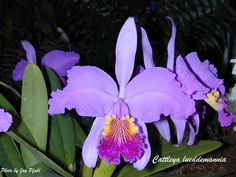 Cattleya Lueddemanniana (own it)