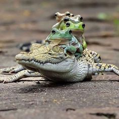 Photo by Tanto Yensen/Media Drum World Photo Agency A group of frogs hitched a lift on a passing crocodile. The multi-coloured group of five amphibians appeared… Animals And Pets, Baby Animals, Funny Animals, Cute Animals, Reptiles And Amphibians, Mammals, Beautiful Creatures, Animals Beautiful, Cute Frogs