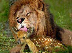 #lion #deer #animals #friends http://www.cancelartiemposcompartidos.com/blog/156-cual-es-el-valor-de-mi-tiempo-compartido/