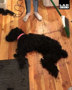 Poodles have A LOT of hair. 😱this is actually my favorite Funny Dog Memes Photos That Make Your Day (Animal Memes) Funny Dog Memes, Funny Animal Memes, Funny Animal Videos, Cute Funny Animals, Funny Animal Pictures, Cute Baby Animals, Funny Dogs, Hilarious Pictures, Animals Dog