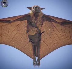 Indian fox bat with pup! Nature Animals, Animals And Pets, Baby Animals, Funny Animals, Cute Animals, Wildlife Nature, Pretty Animals, Beautiful Creatures, Animals Beautiful