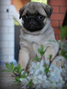 Super Cute Puppies, Super Cute Animals, Pug Puppies, Pet Dogs, Pugs And Kisses, Easiest Dogs To Train, Pug Pictures, Cute Pugs, Pug Love