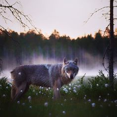 Eurasian Wolf, Geography, Finland, Panther, Husky, Grey, Dogs, Nature, Instagram