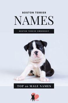 Boston Terrier Male Names List #bostonterrier #bostonterrierpuppy #bostonterriernames #bostonterriernamesboy #bostonterriernamesfemale #gettingabostonterrier #bostonterrierdog #bostonterrierpet #bostonterriercare #bostonterrierfacts #bostonterrierbreed #bostonterriertips #bostonterrierowner #owningabostonterrier #dognames #dognamelist #dognamesboy #dognamesgirl Male Names List, Dogs Names List, Dog Names, Boston Terrier Names, Boston Terriers, Funny Boy Names, Name List, Girl And Dog, S Girls