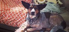 What I've Learned About My Cattle Dog From Unexpected Sources - Dogster