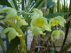 Catasetum spitzii