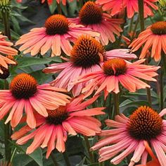 The Echinacea, or Coneflower, is called queen of the Daisies and a must-have for your garden. Shop more Echinacea varieties at White Flower Farm. Orange Flowers, Colorful Flowers, Beautiful Flowers, Cut Flowers, Mamma Mia, Flowers Perennials, Planting Flowers, Flower Plants, Rabbit Resistant Plants