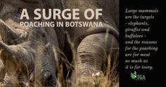 Wildlife: In progress: A Surge of Poaching in Botswana Giraffe, Elephant, Mammals, Wildlife, Africa, News, Felt Giraffe, Giraffes, Elephants