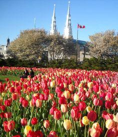 Beautiful Canadian Tulip Festival - Canada