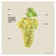 Vintage | Vin, style & dégustation | by Alice Weinderland | La grappe de raisin. #grappederaisin #grape #rafle #vrille #feuille #grain #baie #femmes #apprendrelevin #graphicdesign #degustation #bacchus #pulpe #pepin #raffle #tanin Vintage, Fruit, Vegetables, Food, Style, Women's, Swag, Vegetable Recipes, Eten