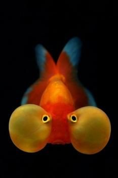 The Bubble Eye Goldfish