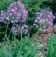 African Lily - (Agapanthus africanus) displays its lovely blue blooms in late summer or early fall. This clumping evergreen perennial can grow as tall as 36 inches and spread up to 18 inches. It appreciates full sun or partial to dappled shade. Plant in loamy, well-drained soil.