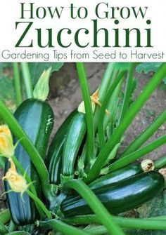 How to grow Zucchini plants - Tips for growing zucchini in your garden including how to start zucchini seeds, how to transplant zucchini seedlings, and how to care for and harvest zucchini.
