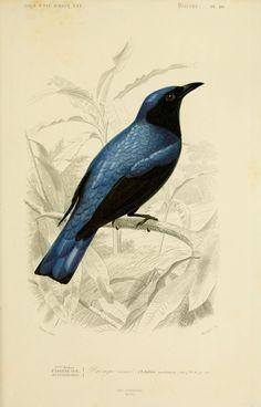 gravures couleur d'oiseaux - Gravure oiseau 0183 dronge azure - edolius caerulescens - passereau - Gravures, illustrations, dessins, images