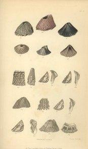 Darwin's sketches of Barnacles