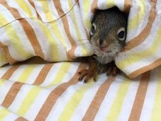 Cute orphaned squirrels need your help. Symbolically adopt one today.  http://www.torontowildlifecentre.com/donate/adopt-an-orphan/adopt-a-red-squirrel/