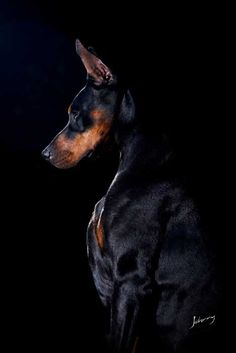 The Doberman Pinscher is among the most popular breed of dogs in the world. Known for its intelligence and loyalty, the Pinscher is both a police- favorite All Dogs, I Love Dogs, Best Dogs, Cute Dogs, Doberman Pinscher Dog, Doberman Dogs, Dobermans, Black And Tan Terrier, Dog Shedding