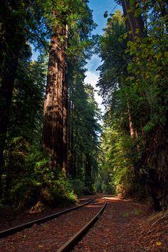 Henry Colwell Redwoods State Park, Santa Cruz, California by Richard Saasta