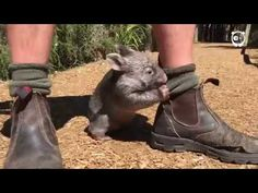 This Wombat thinks he's a dog - YouTube