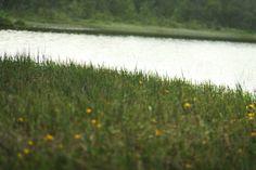 Gresset og sivet som går helt ut i vannkanten.