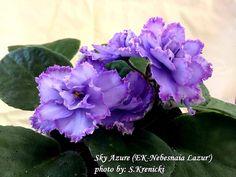 Leafy Plants, Flowering Plants, Indoor Plants, Planting Flowers, Easy House Plants, Saintpaulia, African Violet, Carnivorous Plants, Natural Garden