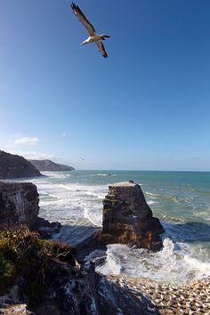 Gannets at Muriwai Beach, Auckland New Zealand Adventure, Kiwiana, Black Sand, Greatest Adventure, Auckland, Australia Travel, Aesthetic Pictures, The Neighbourhood, Vacation