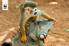 squirrel monkey and iguana