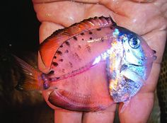 Mystery Fish:  The translucent, oval-shaped fish produces many guesses, but the correct answer turns out to be larval surgeonfish