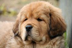 Tibetan puppies Tibetan Mastiff, Doggies, Dog Cat, Puppies, Cats, Animals, Little Puppies, Cubs, Gatos