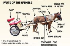 Miniature Horse Driving harness with all the pieces and parts can be intimidating to the new cart driver. Horse Wagon, Horse Camp, Horse Gear, Horse Tips, Horse Harness, Horse Bridle, Tiny Horses, Show Horses, Horse And Buggy