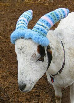 for the goat who has everything