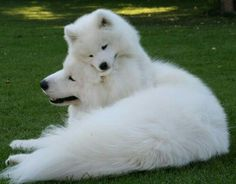 Samoyed Dog…I had two of these growing up…Love them and they fluffy beautifu… Samoyed Dog…I had two of these growing up…Love them and they fluffy beautiful fur! Samoyed Dog…I had two of these growing up…Love them and they fluffy beautifu… Samoyed. Animals And Pets, Baby Animals, Funny Animals, Cute Animals, Samoyed Dogs, Pet Dogs, Dog Cat, Doggies, Chiweenie Dogs