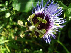 Flor de maracujá doce (Passiflora sp)
