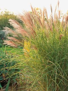 Morning Light Maiden Grass (Miscanthus sinensis 'Morning Light') is a lovely, compact clump growing to 6' tall, displaying pinkish flower heads into fall.