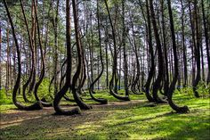 The Crooked Forest: Located right outside of Nowe Czarnowo, West Pomerania, Poland, the grove contains approximately 400 pine trees with bent trunks. They were planted sometime in but why or who made them crooked is unknown. Beautiful Forest, Beautiful Places, Amazing Places, It's Amazing, Beautiful Curves, Beautiful Life, Crooked Forest, Crooked Tree, Unique Trees