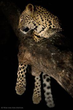 Leopard at Night by Wim van den Heever