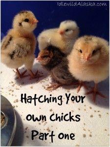 Hatching Your Own Chicks - IdlewildAlaska
