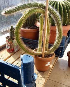 wondering where this guy is headed next 🌵😍 // 📷 Rock Garden Plants, Garden Art, Garden Design, Cacti And Succulents, Planting Succulents, Planting Flowers, Succulent Images, Cactus Planta, Weird Plants