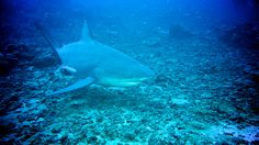 Shark Defenders: Fijian Sharks Holding Collective Breath
