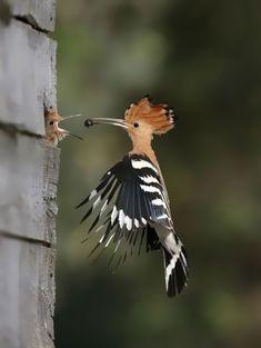Adult Common Hoopoe (Upupa epops) feeding young