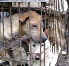 HOW SICKENING....LOOK at their stressed faces! Please sign & urge cancellation of the Dog Meat Summer Festival in China!