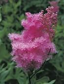 Queen of the Prairie (flower)