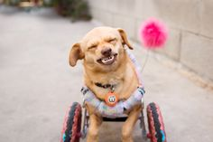 Daisy has a congenital deformity in her front legs and uses her customized pink wheels to walk. Despite her disability, she is the happiest girl you will ever meet, and loves life. Just look at her smile!